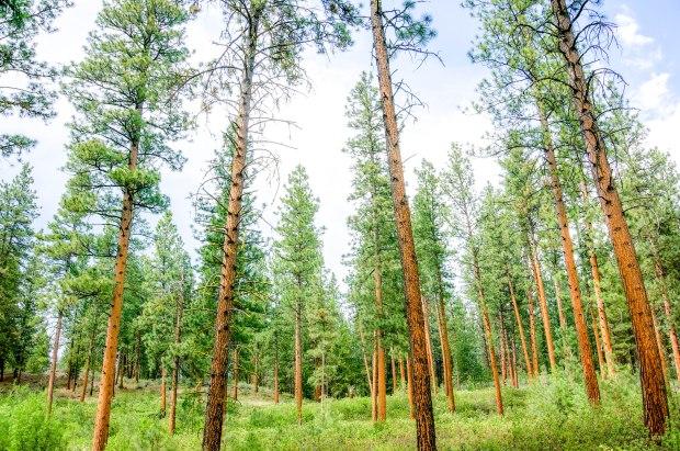 MyerCreekTrees