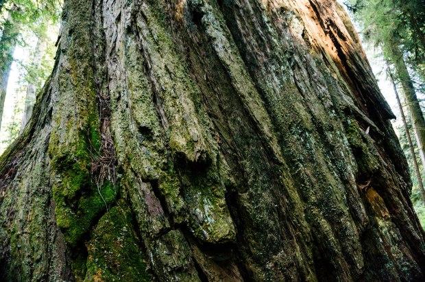 RedwoodBark