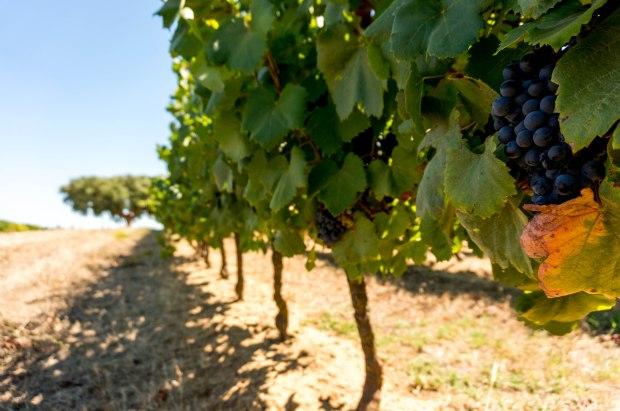 Cartuxa Vineyard