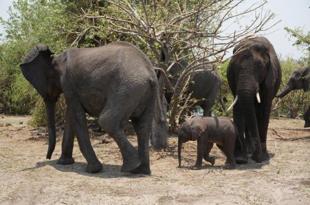 2 Week Old Baby Elephant
