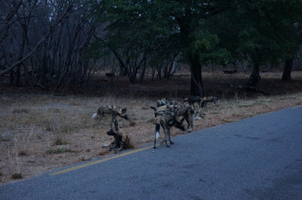 Painted Dog Pack of 16