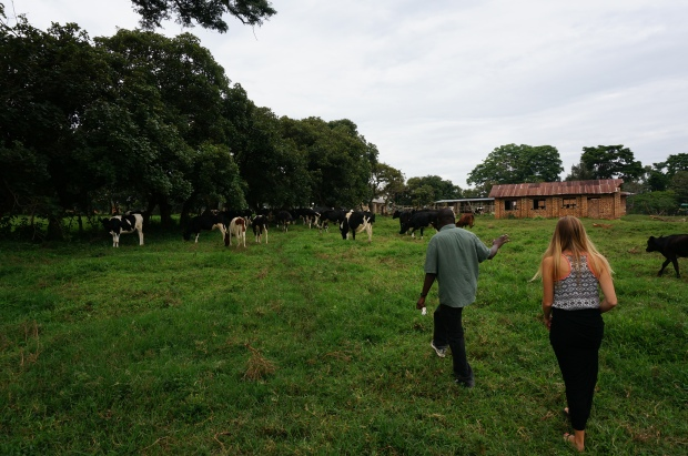 Cow Project Breeding Farm