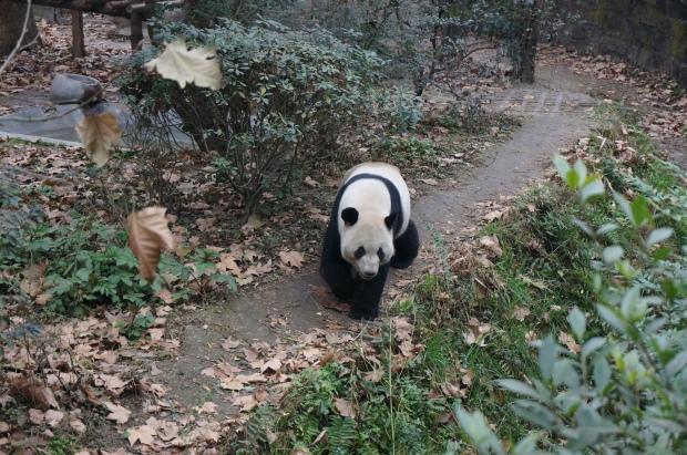 The one unlazy Panda Bear